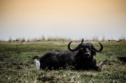 Water Buffalo, Chobe National Park, Botswana