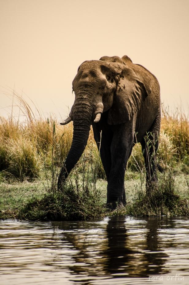 Elephant, Chobe National Park, Botswana