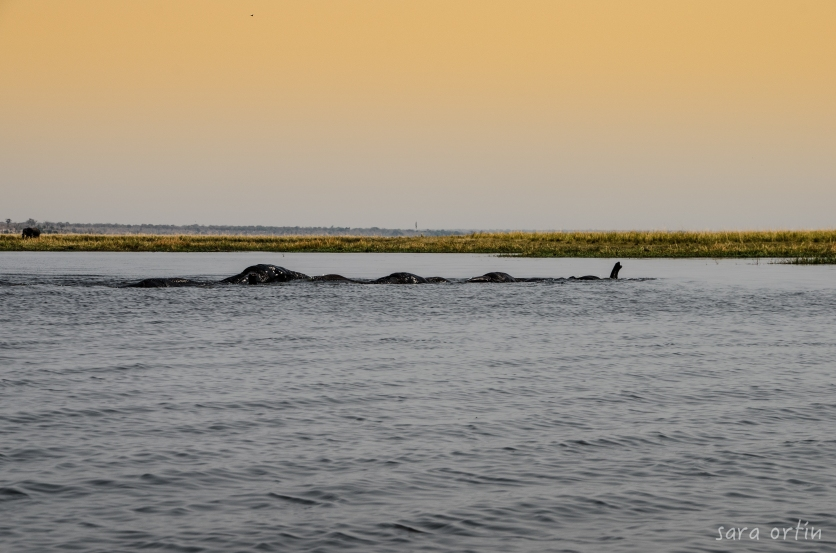 Elephants swimming, Chobe National Park, Botswana
