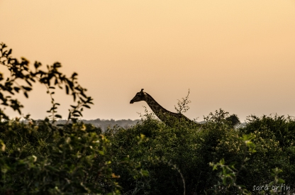 Giraffe, Chobe National Park, Botswana