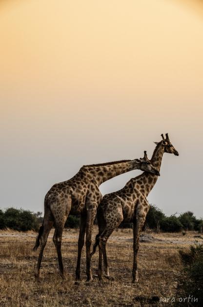 Giraffes, Chobe National Park, Botswana